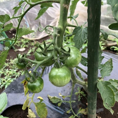 中玉トマト(シンディスウィート)7週目。実が少しずつ大きく。