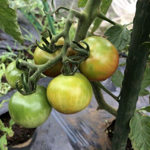 中玉トマト(シンディスウィート)9週目。実が少し赤くなってきました。