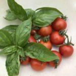 中玉トマト(シンディスウィート)12週目。赤と緑のコントラスト収穫!