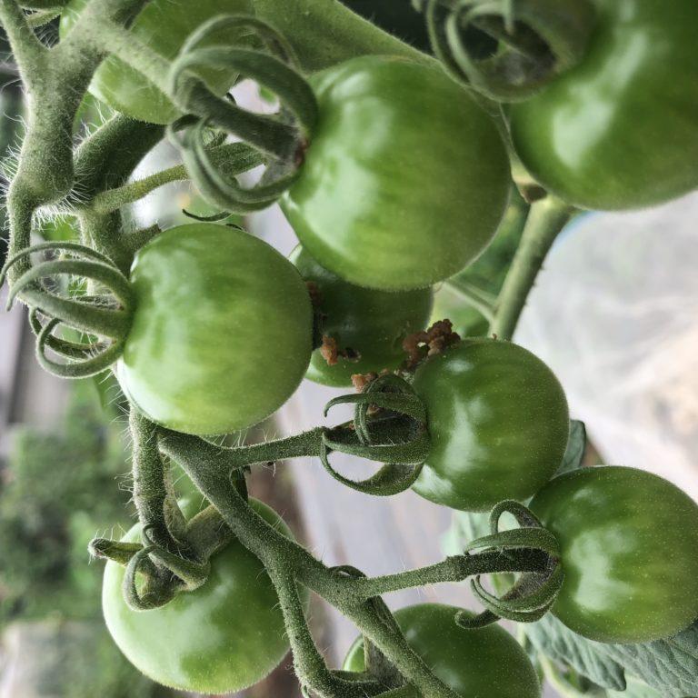 中玉トマト(シンディースウィート)13週目。オオタバコガの被害。