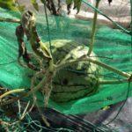 小玉スイカ(愛娘なつこDX)10週目。スイカの実に黒い斑点。