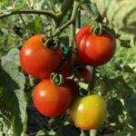中玉トマト(シンディースウィート)14週目。6月の寒暖差でチャック果?