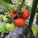 中玉トマト(シンディスウィート)10週目。もうすぐ収穫です。