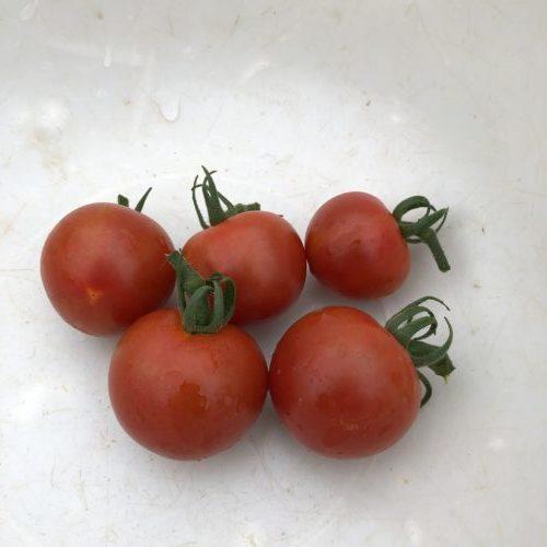 中玉トマト(シンディスウィート)11週目。初収穫しました!