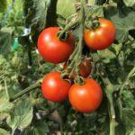中玉トマト(シンディースウィート)15週目。実が甘く育ちました。