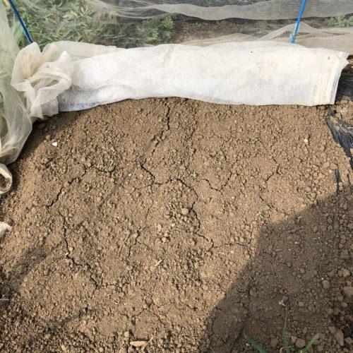 ニンジン(3種類)2週目。土がカラカラで発芽せず。