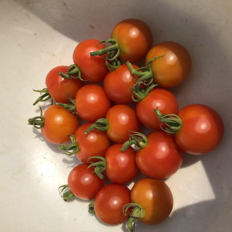 中玉トマト(シンディースウィート)16週目。週間収穫数の更新!