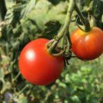 中玉トマト(シンディースウィート)17週目。収穫は9月上旬くらいまで。