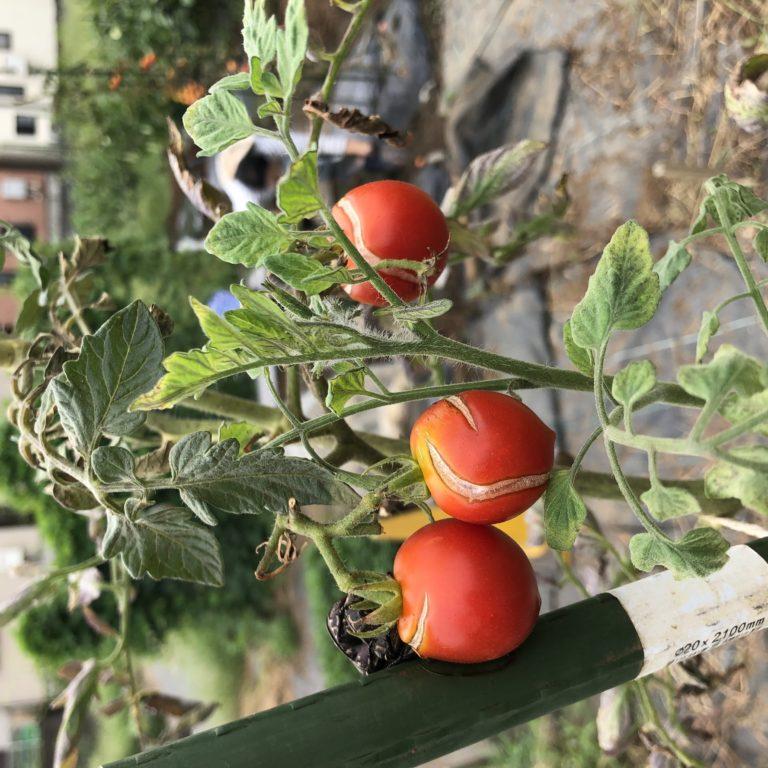 中玉トマト(シンディースウィート)19週目。中玉トマトとバジルの撤去。