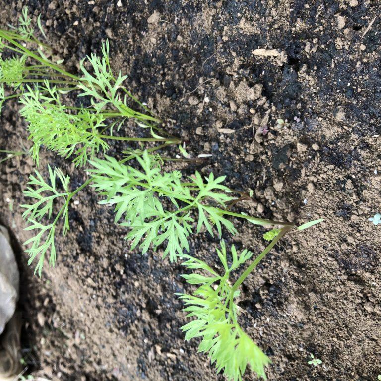 ニンジン(3種類)6週目。ようやく満遍なく発芽。