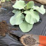 キャベツ、茎ブロッコリー3週目。1回目の追肥。