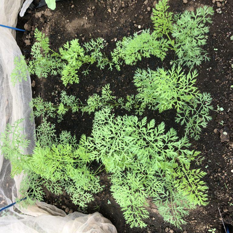 ニンジン(3種類)8週目。背丈20cm程に生長。