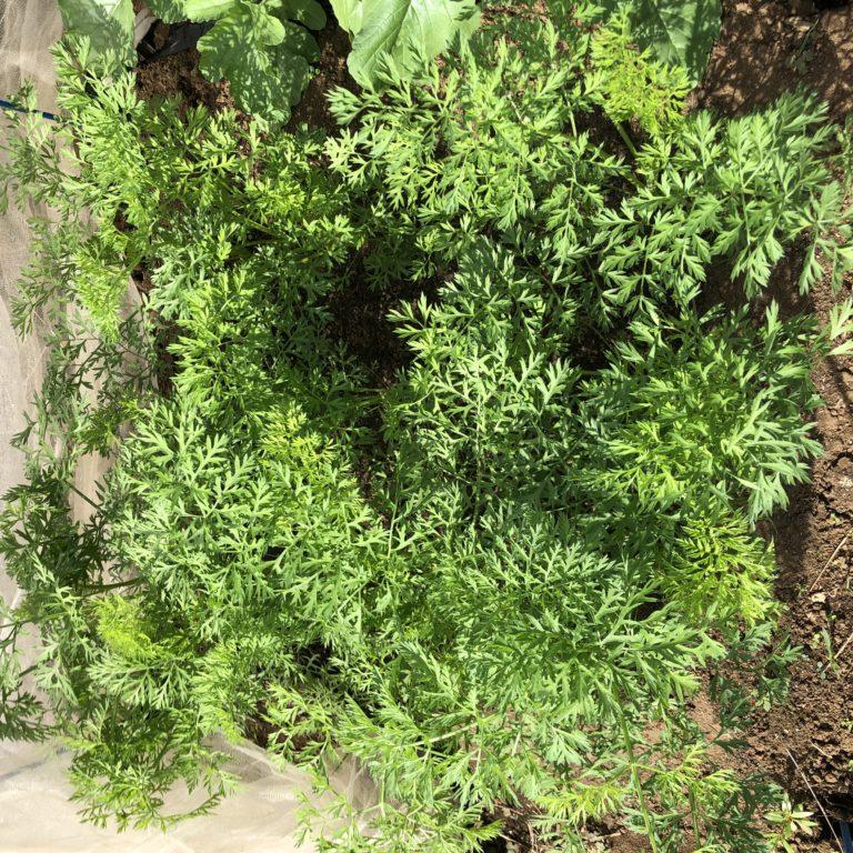 ニンジン(3種類)9週目。新しい大きな葉が増えてきました。
