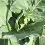 キャベツ、茎ブロッコリー5週目。結球と頂花蕾待ち。