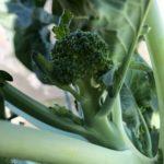 キャベツ、茎ブロッコリー7週目。頂花蕾の収穫!