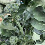 キャベツ、茎ブロッコリー10週目。側花蕾を初収穫です。