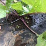 ナバナ(のらぼう菜)5週目。茎が赤くなりました。