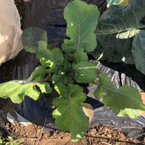 ナバナ(のらぼう菜)6週目。寒くなってきて生長が鈍化。