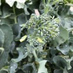 茎ブロッコリー(スティックセニョール)13週目。側花蕾の黄色い蕾。