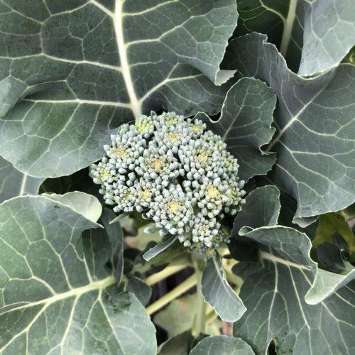 茎ブロッコリー(スティックセニョール)15週目。側花蕾を継続収穫中!