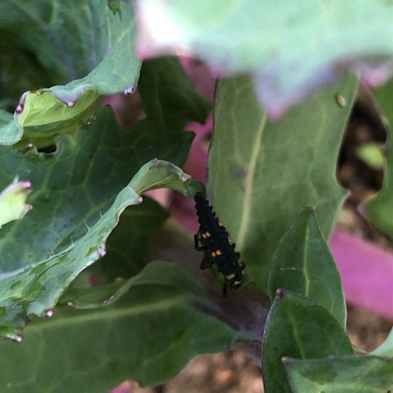 ナバナ(のらぼう菜)10週目。テントウムシの幼虫発見。