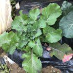 ナバナ(のらぼう菜)11週目。生長鈍化で見た目変わらずです。