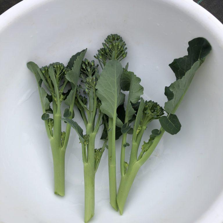 茎ブロッコリー(スティックセニョール)17週目。まだまだアブラムシいますね。
