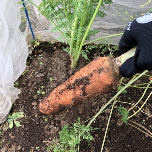 ニンジン(3種類)21週目。大きめ新黒田五寸を収穫。