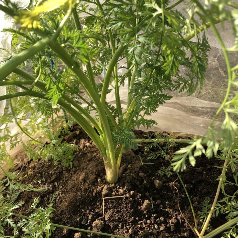 ニンジン(3種類)22週目。年末のため収穫は一時見合わせです。