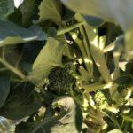 茎ブロッコリー(スティックセニョール)18週目。中心部の葉をかき取りました。