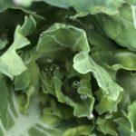 ナバナ(のらぼう菜)14週目。小さいけど新しい葉が出てきてます。